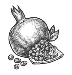 sketch pomegranate fruit pencil hatching vector image