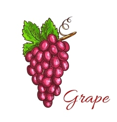 Bunch of pink grape fruit sketch for drinks design vector image