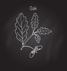 Oak branch with green leaves and acorns vector