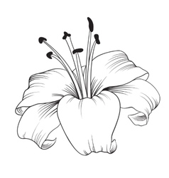 Blooming lily vector