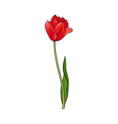 hand drawn of side view red tulip flower vector image