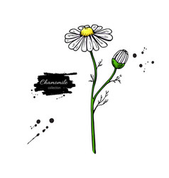 chamomile drawing set isolated daisy wild vector image vector image