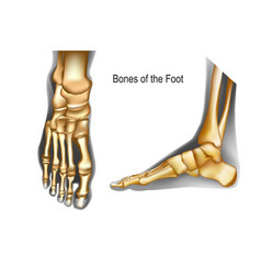 Bones foot top and medial view vector