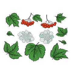viburnum set vector image