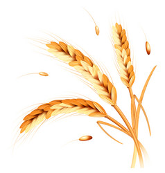 Wheat spikes realism vector