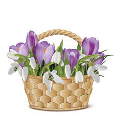 bouquet snowdrops and crocuses in a basket vector image
