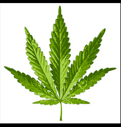Leaf cannabis vector