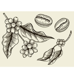 Coffee plant branch with leaf vector