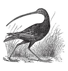 Slender billed Curlew engraving vector image vector image