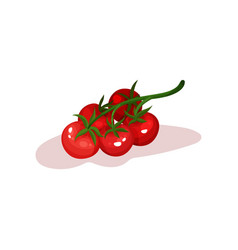green branch of ripe red tomatoes healthy and vector image