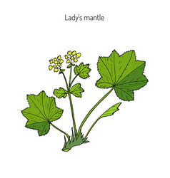 Alchemilla vulgaris common lady mantle vector