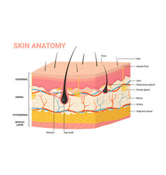 Skin layers structure anatomy diagram human vector