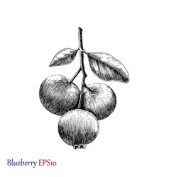 Blueberry hand drawing black and white vector