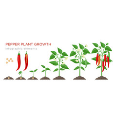 Chilli pepper plant growth stages infographic vector