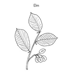 Field elm hand drawn vector