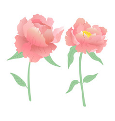 two pink peonies white background vector image