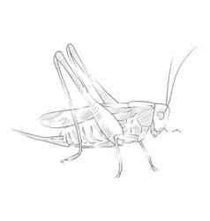 Sketch large locust vector