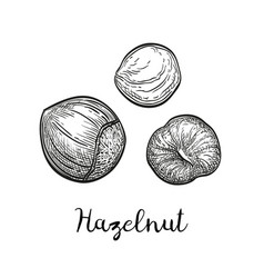 ink sketch of hazelnut vector image