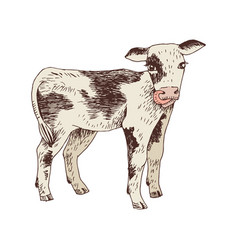 Hand drawn calf vector