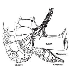 Lymphatics caecum and appendix vintage vector