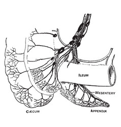 Lymphatics of the caecum and appendix vintage vector