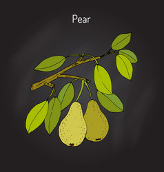 pear branch with fruit pyrus communis or vector image
