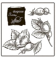 dog rose hand drawn vector image vector image