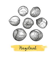 ink sketch of hazelnut vector image