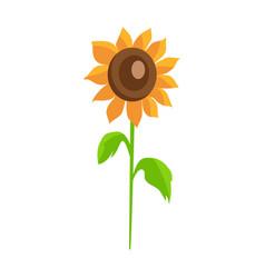 sunflower isolated white background decor element vector image