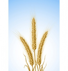 Yellow ears of wheat vector