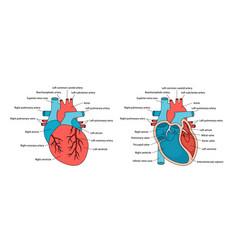 Anatomically correct heart with descriptions vector