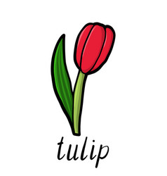 Flower of red tulip vector