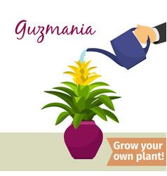 hand watering guzmania plant vector image