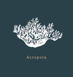 acropora coral drawing sea vector image