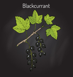 blackcurrant ribes nigrum vector image