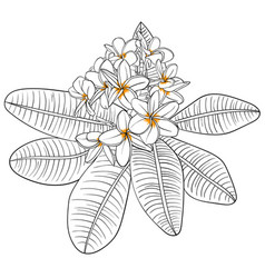 With plumeria flowers and frangipani vector