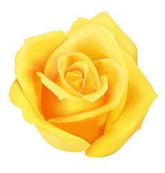 Yellow roses blooming isolated vector