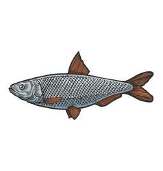 herring clupea fish sketch engraving vector image