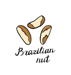 drawing brazilian nuts vector image