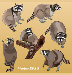 racoons vector image