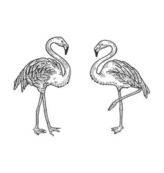 flamingo bird sketch engraving vector image