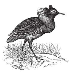 Ruff vintage engraving vector image