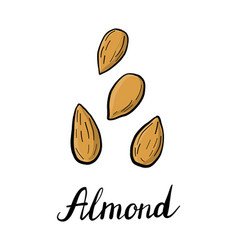 Drawing almond vector