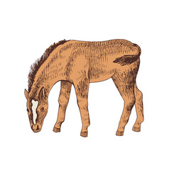 hand drawn sketch foal grazing vector image
