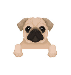 Pug puppy with cute muzzle hanging on invisible vector