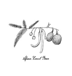 Hand drawn of african locust bean on white backgro vector