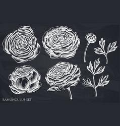 set hand drawn chalk ranunculus vector image
