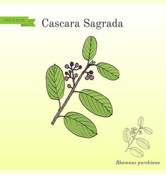 Cascara sagrada rhamnus purshiana or persian vector