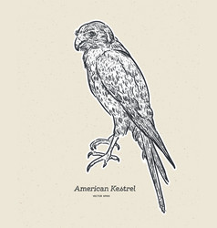 the american kestrel falco sparverius hand draw vector image