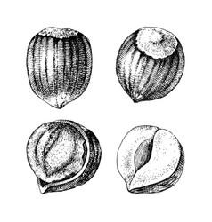 4 hand drawn hazelnuts vector image